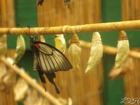 Butterfly Pupa 1
